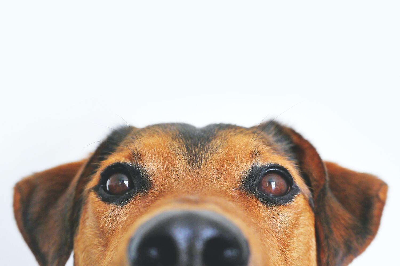 يتم تدريب بعض الكلاب على اكتشاف المرض